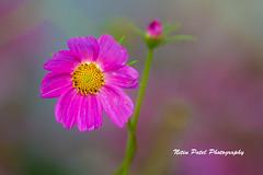 IMG_6312 (nitinpatel2) Tags: flower nature nitinpatel