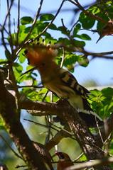 Hop (Upupa epops) (Frank Berbers) Tags: nikond5100 gaiazoo 2018 dierentuin zoo tiergarten jardinzoologique vogel vögel bird oiseaux hop upupaepops upupidae aves wiedehopf eurasianhoopoe huppefasciée
