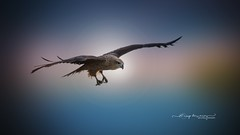 Eagle.. (Anup Devaraj Clicks) Tags: nikond3200 nikkor nikon naturephotography nature birdsinflight birdphotography birds eagle