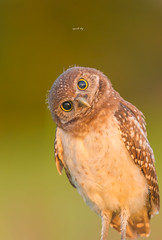Curiosity (agnish.dey) Tags: bird birding birdwatching bokeh baby burrowingowl owl owlet portrait nature naturallight naturephotograph nikon goldenhour eyes d500 coth capecoral florida wildlife green grassland naturethroughthelens