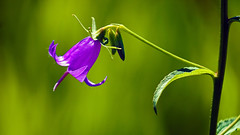 Harebell (Campanula rotundifolia), Miller Creek - Duluth MN USA, 07/16/18 (TonyM1956) Tags: elements sonyalphadslr tonymitchell duluth minnesota stlouiscounty nature millercreek macrounlimited sonyphotographing