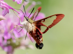 Hummingbird Clearwing Moth (tresed47) Tags: 2018 201807jul 20180720springtonmacro canon7d canon7dmkii chestercounty content folder hummingclearwingmoth hummingbirdmoth insects july macro moth pennsylvania peterscamera petersphotos places season springtonmanor summer takenby technical us ngc
