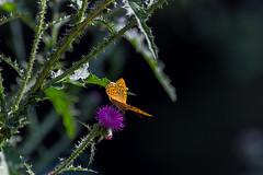Schmetterling sonnt sich (maikkregel) Tags: maikkregel kermeter nsg eifel wald wildnis waldgebiete licht schatten makro pflanze tier blume illusion