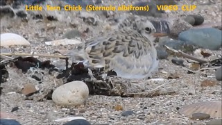 Little Tern Chick (Sternula albifrons)    VIDEO  CLIP                                  22-07-2018