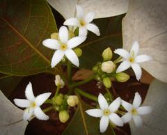 Morinda reticulata (Uhlenhorst) Tags: 2007 australia australien plants pflanzen flowers blumen travel reisen blossoms blüten