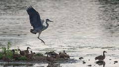 Grey heron and Mallard - July (Tony McLean) Tags: ©2018tonymclean tophilllow eastyorkshire wildlifephotography naturephotography nikond4 nikon500f4gvr greyheron mallard