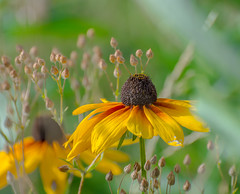 Cone Romance. (Omygodtom) Tags: contrast perspective composition fence conedaisy flower meadow scenic scene setting farm 7dwf coth5 nikon70300mmvrlens dof bokeh nikon wildflower