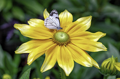 Butterfly Explores Flower (Charles Patrick Ewing) Tags: butterfly butterflies flower flowers nature natural outdoor animal animals insect insects landscape landscapes yellow green white fave favorite beauty beautiful new all everything plant foliage colorful colourful macro