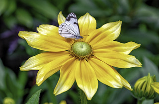 Butterfly Explores Flower
