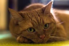 I love lazy mondays :) (iwona.kilichowska) Tags: cat pet dof blur closeup animal indoor portrait ginger orange 50mm