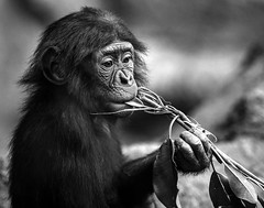 024693763600-102-Baby Bonobo-2-Black and White (Jim There's things half in shadow and in light) Tags: california sandiego animal bonobo primate zoo blackandwhite