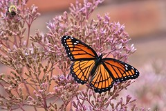 Viceroy Butterfly (deanrr) Tags: viceroybutterfly butterfly backyardbutterfly macro flower babyjoepyeweed insect summer 2018 outdoor nature morgancountyalabama alabama bee