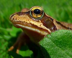 Frog (Gavin MacRae) Tags: frog commonfrog ranatemporaria amphibian highlandnature highlandwildlife scottishwildlife scottishnature nature wildlife macro highlandsofscotland scotland