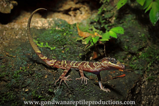 the Phong Nha-Ke Bang Slender-toed Gecko