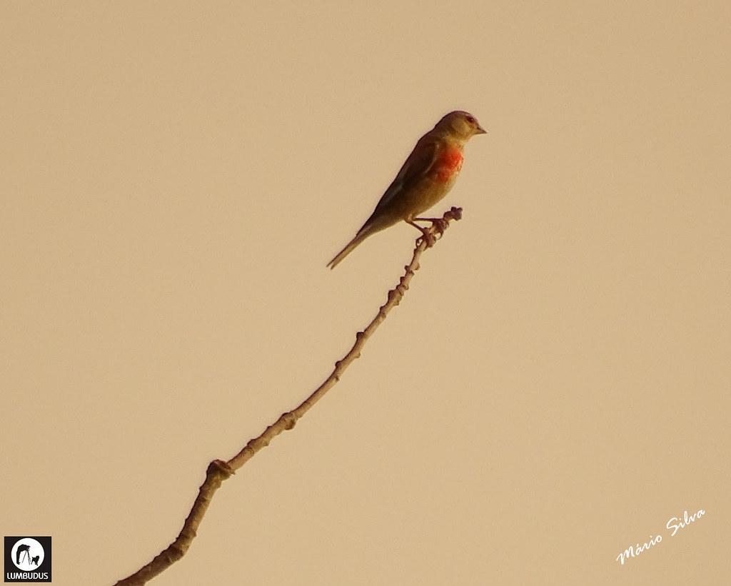Águas Frias (Chaves) - ... ave observando o horizonte na extremidade de um fino ramo ...