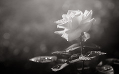 Spreading Your Light (Charles Opper) Tags: bw canon georgia hmbt monochromebokehthursday summer blackandwhite bokeh floral flower light monochrome nature raindrops rose soft midway unitedstates