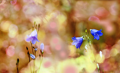 field flowers. (augustynbatko) Tags: wildflowers flowers flower nature macro bokeh field creeping blur plant