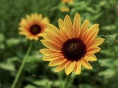 In August Yellow (Robert Cowlishaw (Mertonian)) Tags: beauty beautiful forwisdommyconstantcompanion wonder awe ineffable deeply markiii g1x powershot canon canonpowershotg1xmarkiii robertcowlishaw mertonian summer yellow sunflower