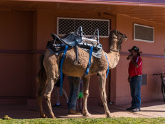 Camels at Australian Hotel Burke St Boulia Queensland P1030417ag (john.robert_mcpherson) Tags: camels australian hotel burke st boulia queensland