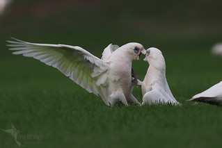 Little Corellas