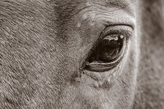 Equine Eye 2018-04-06 (7D_182A5383) (ajhaysom) Tags: woodlandshistoricpark greenvale livinglegends horse melbourne australia canoneos7dmkii tamron150600mmf563divcusdg2 100xthe2018edition 100x2018 image31100