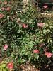 c2018 April 17, Pink Roses @ Bridge Street (King Kong 911) Tags: trees japanese water carrousel azalea roses pink white yellow