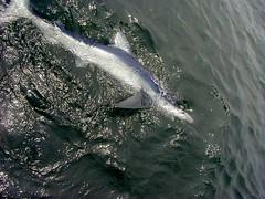 Blue Shark (Prionace glauca) (jd.willson) Tags: jd willson jdwillson nature wildlife fish fishing deep sea saltwater salt water shark blue prionace glauca
