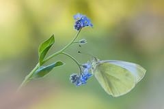 Un regalo inatteso (Raffaella Coreggioli ( fioregiallo)) Tags: fioregiallo macro nikon farfalla natura insetto nontiscordardime fiori