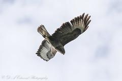 Common Buzzard (Dougie Edmond) Tags: troon scotland unitedkingdom gb bir prey birdofprey raptoe hawk nature wildlife spring sunshine