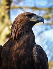 DSC_0292.jpg (littlestschnauzer) Tags: nature huby york birds prey centre strength brown feathers bold