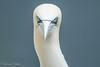 Gannet Headshot (Lorraine Culloch) Tags: troup head sea cliffs gannet