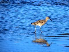 Sandpiper (thomasgorman1) Tags: sandpiper reflection sea ocean water canon seabird shore wildlife tide baja mx cortez mexico birds nature