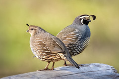 Always alert (alicecahill) Tags: morning usa wild wildlife ©alicecahill sanluisobispocounty bird quail cute californiaquail california santamargaritalake animal
