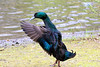 check my colours out (stellagrimsdale) Tags: duck blue green feathers water bird birdphotography