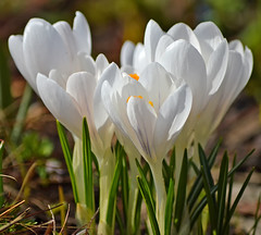 Beautiful spring 2018 🌷 White crocuses. #Finland #Helsinki (L.Lahtinen (nature photography)) Tags: spring finland springflower springtime nature crocuses nikond3200 naturephotography nikkor55300mm flora flowers suomi kukat kevät kevätkukat puutarhakasvit luonto luontokuvaus krookukset sahramit helsinki