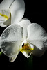 The White Orchid (shelnutta) Tags: orchids flowers white black petals