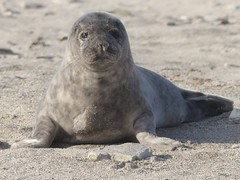 Beloved Island Heligoland (BrigitteE1) Tags: helgoland heligoland islandheligoland robbe seal baby cub kegelrobbe grayseal greyseal specanimal
