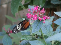 P4190140 (Steve Guess) Tags: horniman museum butterfly forest hill london england gb uk