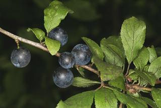 Prunus spinosa, le prunellier.
