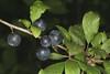 Prunus spinosa, le prunellier. (chug14) Tags: unlimitedphotos plantae plante fruit baie prunelle prunellier rosaceae prunusspinosa