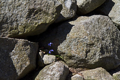 Taking Hold (brucetopher) Tags: spring flowers flower blue light garden colorful warmth sunlight sunshine sun beauty delicate season changeofseason rock wall rockwall granite stone stones edge lane border