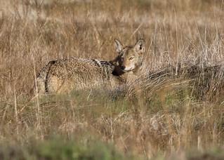 Mr. coyote looks back (Explored)