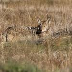 Mr. coyote looks back (Explored) thumbnail