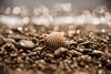Tresors de cales (rfabregatmoliner) Tags: petxina shell sea cala mediterrani mediterranean deltadelebre laràpita tarragona bokeh