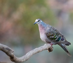 Common Bronzewing (Mykel46) Tags: birds nature wildlife sony a9 100400mm