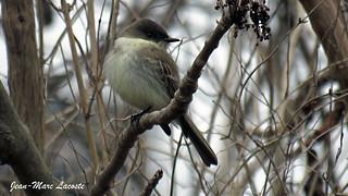 Moucherolle phébi, 19 avril 2018: début de la migration ------ Eastern Phoebe ---- Sayornis phoebe