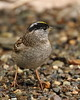 Golden-crowned Sparrow,  Zonotrichia atricapilla (jlcummins - Washington State) Tags: yakimacounty backyardbirds washingtonstate fauna nature tamronsp150600mmf563divcusd canon zonotrichiaatricapilla
