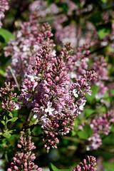 Lilac (Kapitalist63) Tags: lilac bush flowers color blossom spring area season field dacha beutiful beauty garden tree