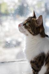 mugshot-2 (ollivver) Tags: cat sunny white greeneyes