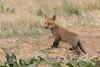 Red Fox kit hanging out (TonysTakes) Tags: fox redfox kit foxkit weldcounty wildlife colorado coloradowildlife